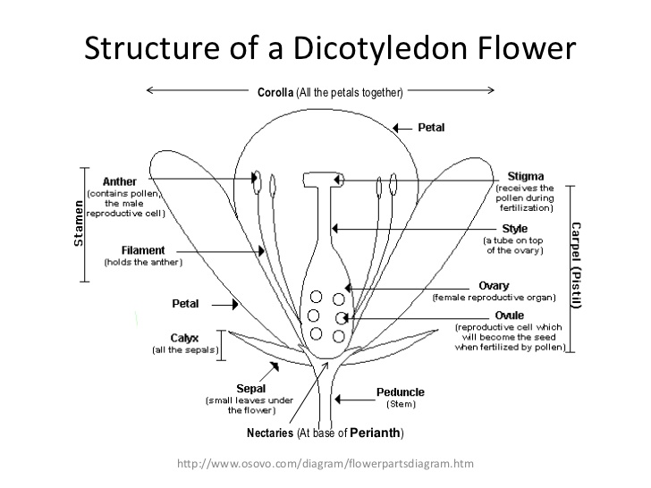 dicot flower structure