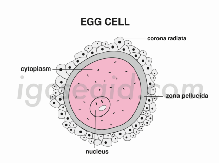 egg cell structure 1