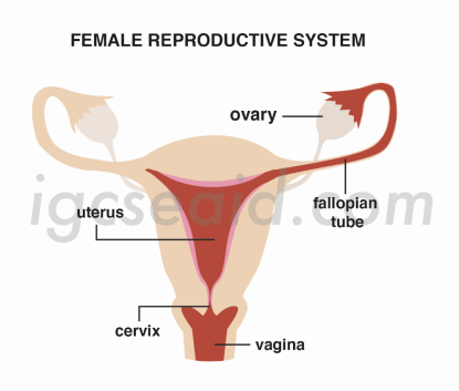 female reproductive system structure 1