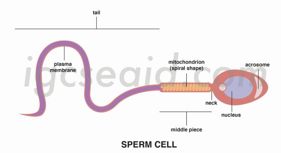 sperm structure 1