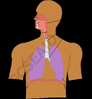 respiratory system wm