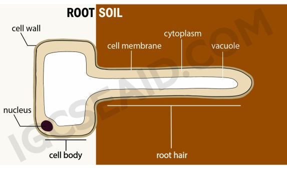root hair cell structure wm (1)
